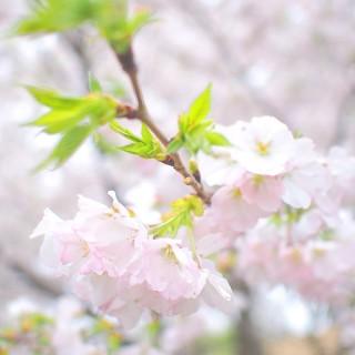 川沿いの桜がキレイ!戸田川緑地公園は意外と人が少なくてお花見が楽しめる、穴場スポット!